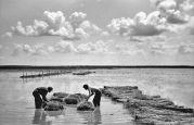 15.05.1944 Biled: Hanfindustrie, Auslegen von Hanfbündeln, Männer, nahe